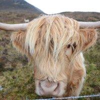 Scotland, Skye - Highland cow